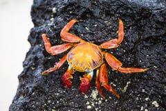 Zayapas  crabs Royalty Free Stock Photos
