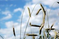 zbiór plonów pszenicy Zdjęcie Stock