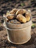 zbiór plonów ziemniaka Obrazy Royalty Free