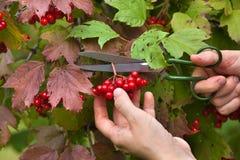 Zbierać viburnum jagody od gałąź obraz stock