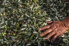 Zbierać świeże oliwki w workach Fotografia Stock
