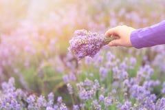 Zbierać bukiet lawenda Piękna dziewczyna trzyma bukiet świeża lawenda w lawendy polu Słońce, słońce mgiełka, świecenie Purpl Obrazy Royalty Free