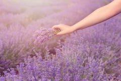 Zbierać bukiet lawenda Piękna dziewczyna trzyma bukiet świeża lawenda w lawendy polu Słońce, słońce mgiełka, świecenie Purpl Fotografia Stock