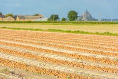 Zbierać cebule na wiejskim polu Obraz Royalty Free