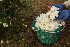 Zbierać chryzantemę kwitnie dla robić herbatę Obraz Royalty Free