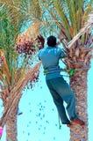 Zbierać daty palmy obrazy royalty free
