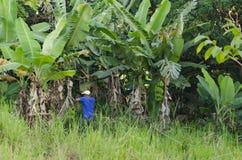 Zbierać Dojrzałych banany zdjęcie stock