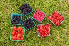 Zbierać jagody w pudełkach na zielonej trawie Obraz Royalty Free