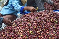 Zbierać kawę W INDONEZJA Fotografia Royalty Free