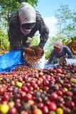 Zbierać kawę W INDONEZJA Obraz Stock
