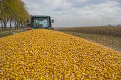 Zbierać kukurudzy w polu z nowożytnym syndykatem na chmurnym dniu, podążać ładować na ciężarówce obraz royalty free
