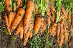 Zbierać - naturalne dojrzałe marchewki - zakończenie obrazy stock