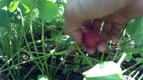 Zbierać podnosi up dojrzałej czerwonej truskawki zbiory wideo