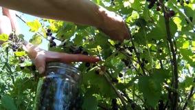 Zbierać podnosi up dojrzałej czerwonej truskawki zbiory