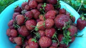 Zbierać podnosi up dojrzałej czerwonej truskawki i stawiać je w naczyniu zbiory