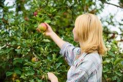 Zbierać pojęcie Kobieta chwyta jabłoni dojrzały tło Rolnego inscenizowania organicznie eco życzliwy naturalny produkt dziewczyna zdjęcie royalty free