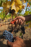 Zbierać winogrona w ręce Obrazy Royalty Free