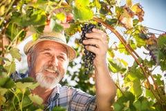 Zbierać winogrona w winnicy obrazy stock