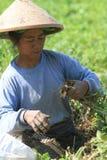 Zbiera arachidy Fotografia Stock
