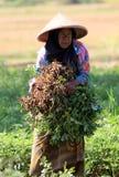 Zbiera arachidy Zdjęcie Stock
