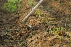 Zbierać batata przy organicznie gospodarstwem rolnym Obrazy Royalty Free