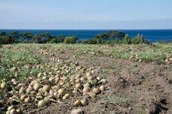 Zbierać cebule przy polem Fotografia Stock