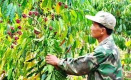 Zbierać kawowe jagody Zdjęcie Stock