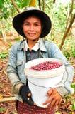 Zbierać kawowe jagody Fotografia Royalty Free