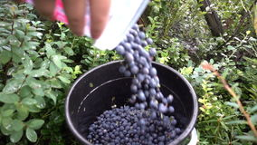 Zbierał mnóstwo czarne jagody w lesie zdjęcie wideo