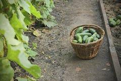 Zbiera ogórki w wattled koszu, selekcyjna ostrość Fotografia Stock