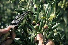 Zbierać oliwki w Hiszpania Obrazy Stock