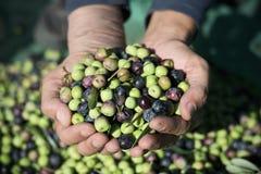 Zbierać oliwki w Hiszpania Zdjęcia Stock