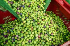 Zbierać oliwki w Hiszpania Zdjęcie Royalty Free