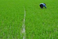 Zbiera Rice Zdjęcia Stock