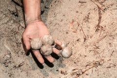 ZBIERACCY ŚWIEZI żółwi jajka PRZENOSIĆ wylęgarnia Obraz Stock