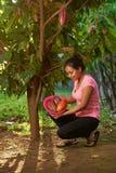 Zbieraccy cacao strąki od drzewa zdjęcie stock