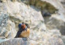 zbieracka hirundo błota gniazdeczka wyrek rustica dymówka Obrazy Royalty Free