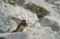 zbieracka hirundo błota gniazdeczka wyrek rustica dymówka Zdjęcie Stock