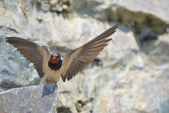 zbieracka hirundo błota gniazdeczka wyrek rustica dymówka Fotografia Royalty Free