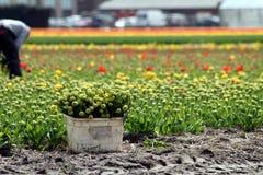 zbieracki kwiatów tulipanu pracownik Obraz Stock