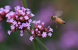 Zbieracki nektar Fotografia Royalty Free