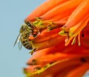Zbieracki nektar Zdjęcia Royalty Free