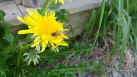 zbieracki pollen Zdjęcia Stock