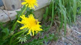 zbieracki pollen Fotografia Stock