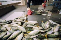 Zbieracki rozmiar pracownikiem w rybołówstwo przemysle fotografia royalty free