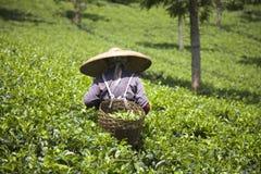 zbieracz herbata obraz royalty free