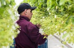 Zbieracz truskawka w Szklarnianych holandiach zdjęcie stock