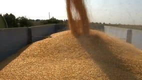 Zbierająca kukurudza ładuje w przyczepę zbiory