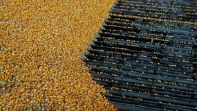 Zbierająca kukurudza Rozładowywa przy Zbożową windą Zdjęcie Stock