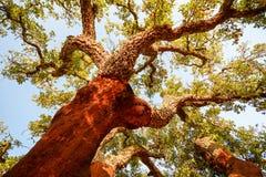 Zbierający bagażnik stary korkowy dębowego drzewa Quercus suber w wieczór słońcu, Alentejo Portugalia fotografia stock